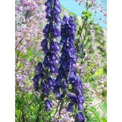 Aconitum carmichaelii - Royal Flush (tojad)
