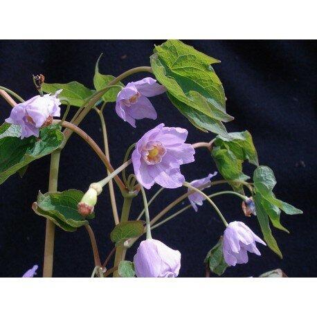 Ranzania japonica (ranzania japońska)