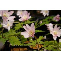 Anemone pseudo-altaica - pink form