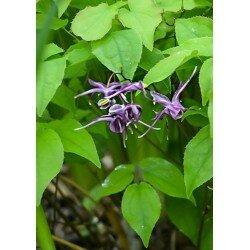 Epimedium grandiflorum (epimedium wielkokwiatowe)