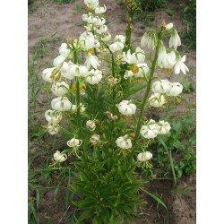 Lilium martagon - Album(lilia złotogłów - biała)