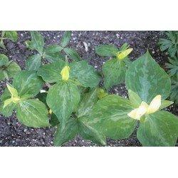 Trillium luteum (trójlist żółty)