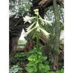 Cardiocrinum giganteum (kardiokrynum - lilia himalajska)
