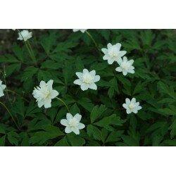 Anemone nemorosa - Vestal (zawilec gajowy)