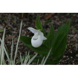 Cypripedium flavun - Alba (obuwik żółty odm. biała)