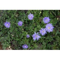 Anemone apennina - Petrovac (zawilec)