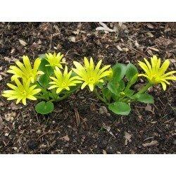 Ranunculus kochii (jaskier)