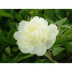 Paeonia lactiflora - Carlie's White (piwonia chińska)